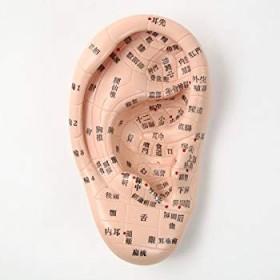 耳ツボ模型